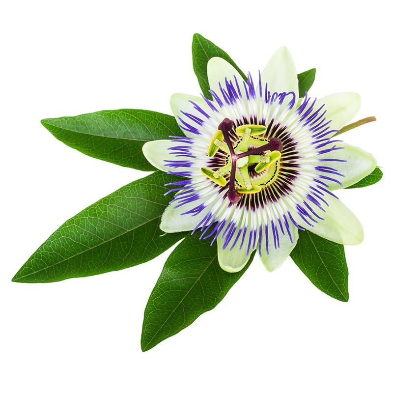 Passion Flower (Passiflora) isolated on white